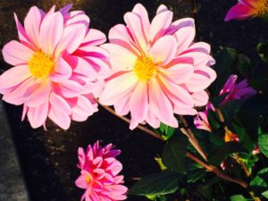 Caregiver Help Photo of pink dahlias